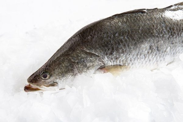 Whole Large Australian Barramundi